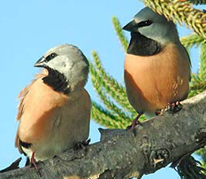 Black Throated Finch Care And Information Birdsville