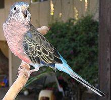 Bourke Parrot Information Birdsville