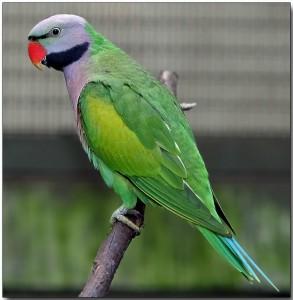 Moustache Parrot Information | Birdsville
