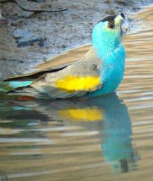 Golden Shouldered Parrot Info Birdsville