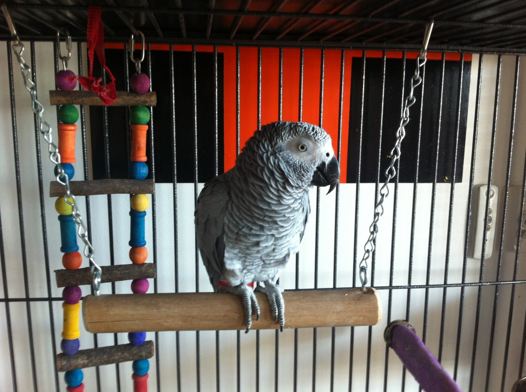 African Grey playing on Swing