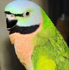 Moustache Parrot