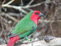 red faced parrot finch