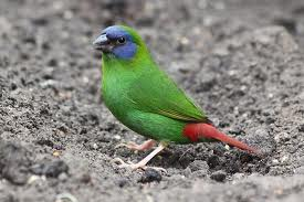 male blue-faced Parrot-finch