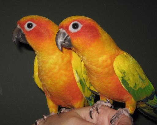 How to find out the sex of a sun conure