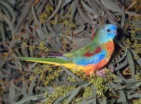 Scarlet Chested Parrot For Sale Sydney Birdsville Bird