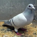Pigeon Seed